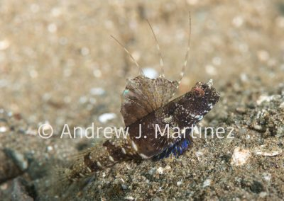 Rayed shrimpgoby