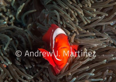 Spinecheek Anemonefish (Clownfish)