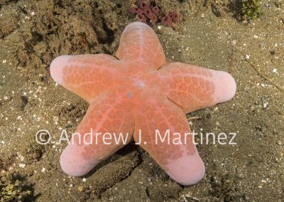 Big-plated Sea Star