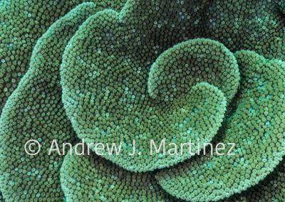 Turbinaria Coral