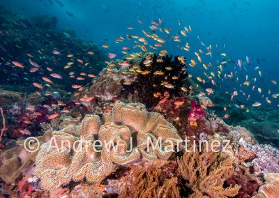 Schooling Anthias