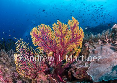 Colorful gorgonian