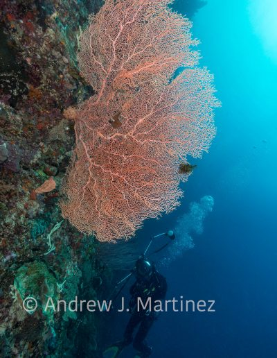 Diver with gorgonian