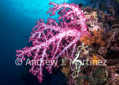 Soft coral scene, Indonesia