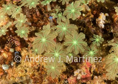 Clavularia Clove Polyps