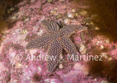 Forbes' Sea Star, Asterias forbesi, Rockport, Massachusetts, Gulf of Maine