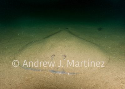 Atlantic Torpedo