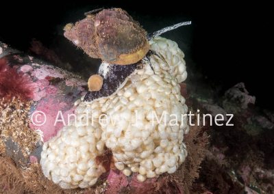 Waved Whelk depositing eggs