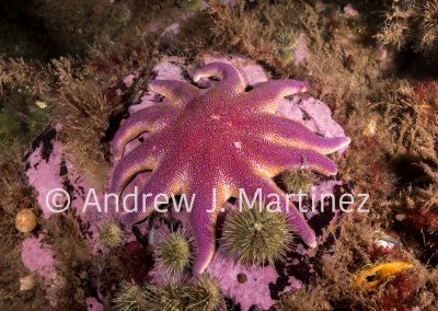 Smooth Sun Star,  (Solaster endeca) , Deer Island, New Brunswick, Canada, an active predator  also feeds on sea stars. Also known as Purple sun star