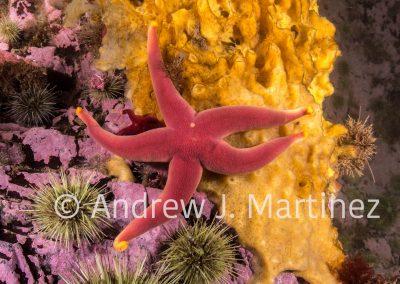 Blood Star, Henricia sanguinolenta, on Breadcrumb Sponge, Deer Island, New Brunswick, Canada