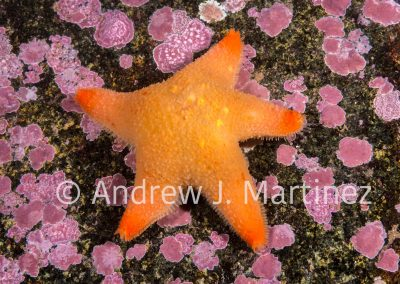 Cushion (Winged) Sea Star, Pteraster militaris, Eastport, Maine, Gulf of Maine, Brooding young under a membrane that covers the surface of the star.