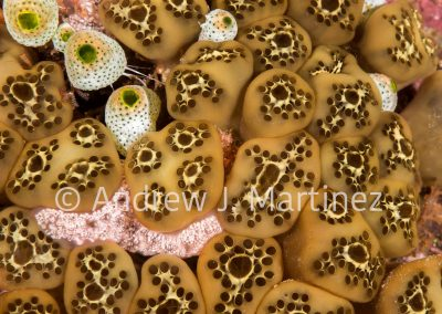 Colonial Tunicates