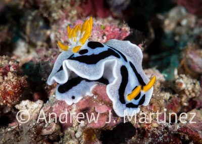 Diana's Chromodoris