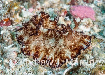 Flatworm Discodoris Nudibranch