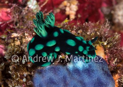 Crested Nembrotha Nudibranch