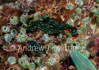 Kubaryana's Nembrotha nudibranchKubaryana's Nembrotha Nudibranc