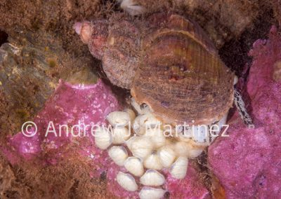 Waved Whelk