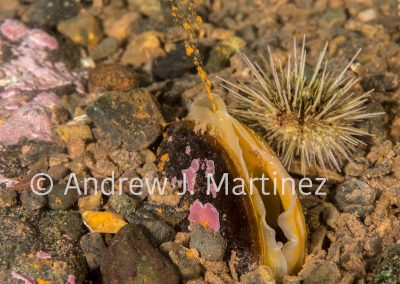 Horse Mussel releasing eggs