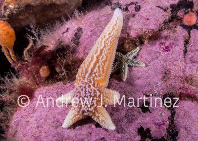 Northern Seastar, (Asterias rubens); formerly known as (Asterias vulgaris), regenerating four arms, Gulf of Maine, Deer Island, New Brunswick, Canada