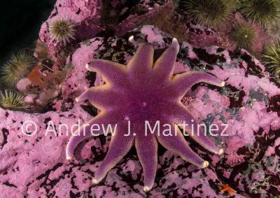 Smooth Sun Star, Solaster endeca, Gulf of Maine, Bay of Fundy, Eastport, Maine, United States, an active predator  also feeds on sea stars. Also known as Purple sun star