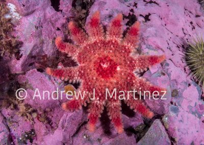 Spiny Sunstar, Crossaster papposus, Gulf of Maine, Bay of Fundy, Eastport, Maine, United States, an active predator  also feeds on sea stars