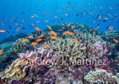 Pocillopora grandis coral