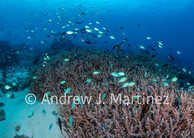 Acropora Coral with schools of chromis