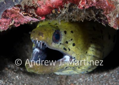 Fimbriated Moray