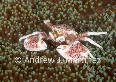 Spotted Porcelain Crab with eggs
