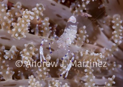 Graceful Anemone Shrimp