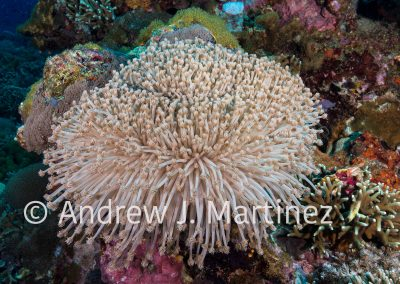 Flower Soft Coral