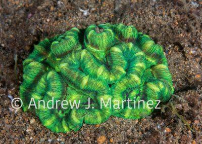 Lobed Cactus Coral