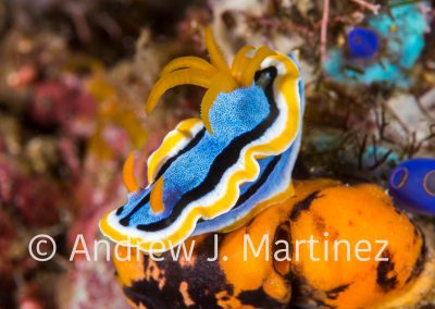 Anna's Chromodoris Nudibranch