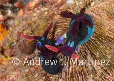 Chamberlain's Nembrotha Nudibranchs mating