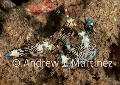 Lined Nembrotha Nudibranch mating
