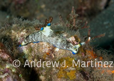 Lined Nembrotha nudibranch