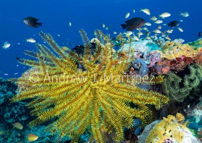 Bennett's Feather Star