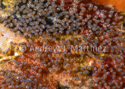 Saddleback Anemonefish eggs