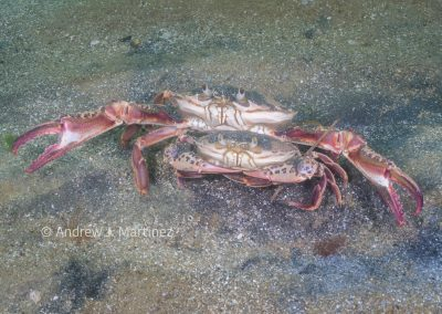 Ocellate Lady Crab