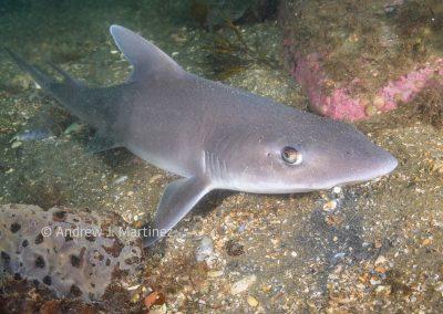 Dusky smooth-hound shark