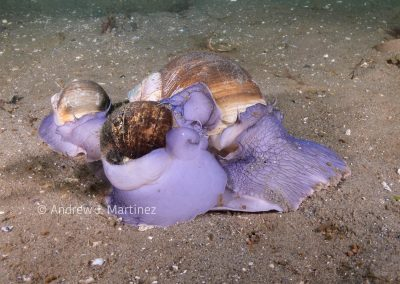 Northern Moon Snails mating