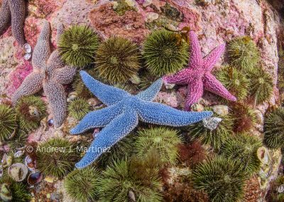 Forbes' Sea Star