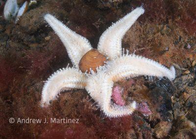Northern Sea Star feeding